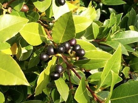 Amazon.com: Fresh Laurus Nobilis – Laurel de hojas de bahía ...