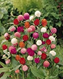Globe Amaranth Mix Color ~ White, pink, rose, Salmon,and purple. 50 Seeds