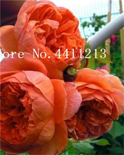 10 best peony roots for sale