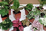 Terrarium & Fairy Garden Live Plant 10 Plants in 2.5'' Pots Outdoor Best Gift Yard