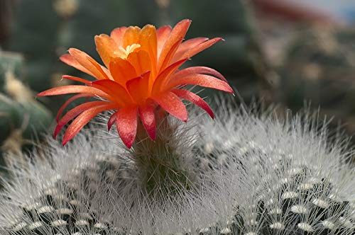 Scarlet Ball Cactus - Brasilicactus Haselbergii - 2.5