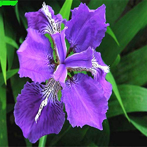 Blue Iris Flowers Seeds,50 PCS-Beautiful Flower Perennial Plant Seeds,Rocky Mountain IRIS Home Garden Decoration Seeds, DIY Pot Flower Seeds Potted,Easy to Live
