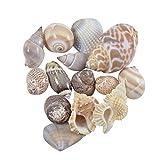 Mixed Seashells, Assorted Craft Shells Mix Medium 1-1.25'' - 1 Kilo (appx. 120 pc) | Bulk Seashells, Bag of Sea Shells