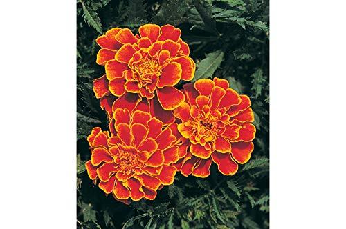 (David's Garden Seeds Flower Marigold Queen Sophia 1278 (Orange) 100 Non-GMO, Open Pollinated Seeds)