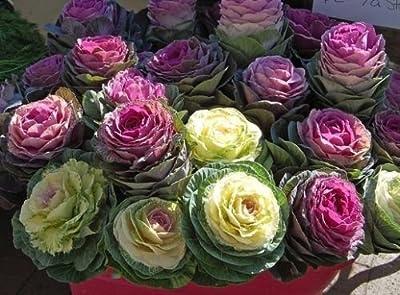 Ornamental Cabbage 50 seeds Low maintenance Wonderful Foliage #1E36#