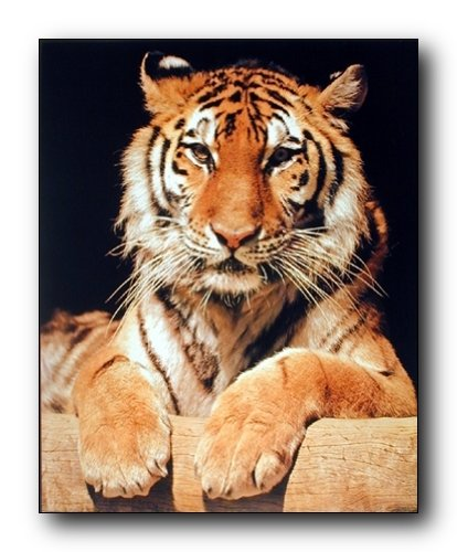 Impact Posters Gallery wall decor Bengal Tiger Close-up Wildlife Animal Picture Art Print (8x10) Bengal Tiger Close Up