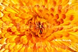 Flower Photography, Sunshine Flower, Yellow Petals, Abstract, Macro, Photograph, Country, Print, Home, Wall Decor Living Room, Gardening, Sizes Available from 5x7 to 20x30.