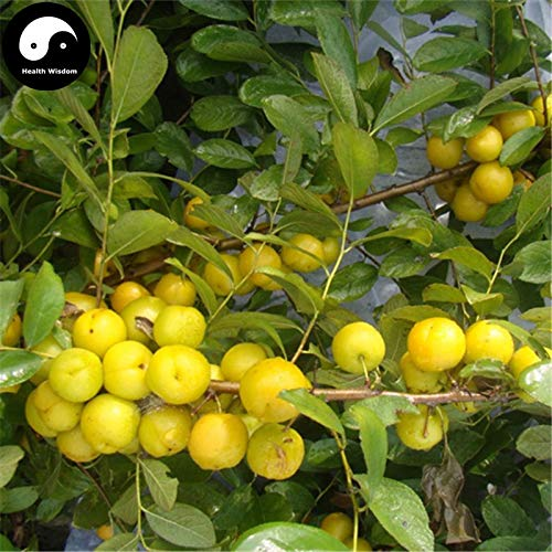 Buy Dwarf Fruit Trees - Fruits Infusant Tree Cherry Buy Dwarf Cherry Fruit Tree Semente 30pcs Plant Cerasus Humilis for Calcium Fruit
