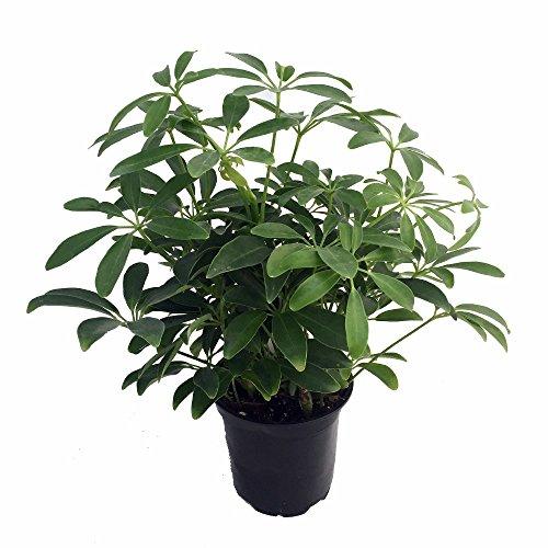 Hawaiian Schefflera Plant - Great Indoors - 4