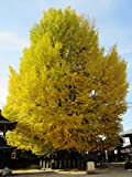 Ginkgo Biloba Tree - Live Plants Shipped 2 to 3 Feet Tall by DAS Farms (No California)