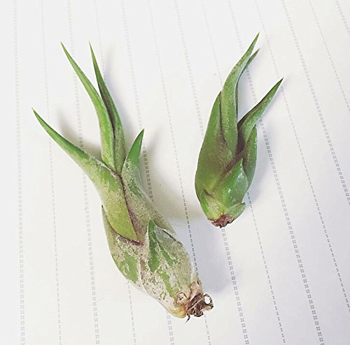 The Drunken Gnome AIR PLANTS – PAUCIFOLIA SMALL – 3 PACK - air purifying flowering tillandsia for terrarium, fairy garden starter kit, home office, indoor outdoor, corporate gift
