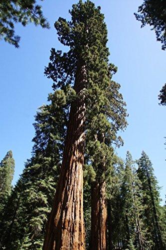 Kalifornischer Mammutbaum im Topf/Container Größe 60 bis 80 cm