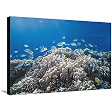 School of Sergeant Major Fish over Pristine Coral Reef, Jackson Reef, Off Sharm El Sheikh, Egypt Stretched Canvas Print by Mark Doherty - 36 x 24 in