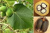 10 Seeds Jatropha curcas Physic Nut Tree