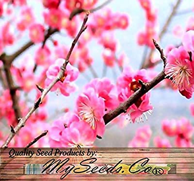 4 Packs x 5 Prunus Triloba - Japanese Flowering Apricot Plum - Tree Seeds - GREAT For Chinese New Year - COLD HARDY To Zone 2 - By MySeeds.Co
