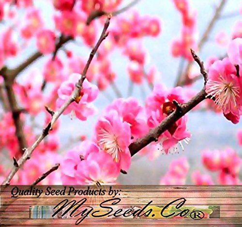 5 x Prunus Triloba - Japanese Flowering Apricot Plum - Tree Seeds - GREAT For Chinese New Year - COLD HARDY To Zone 2 - By (Japanese Plum Tree)