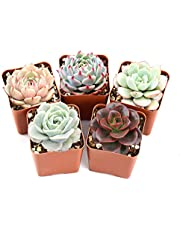 "The Next Gardener Succulent Plants, Assorted Rosette Succulents, Fully Rooted in 2"" Planter Pots with Soil, Rare Varieties, Unique Real Live Indoor Succulents/Cactus Décor ONLY by The Next Gardener"