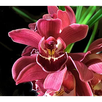 Orchid Insanity - Cymbidium Koushu Tango - Dark red Flower Easy Hardy Warm-Tolerant Excellent for Beginners (NOT in Bud/Bloom When Shipped) : Garden & Outdoor