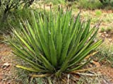 Agave lechuguilla, exotic american desert succulent rare cactus seed 100 SEEDS