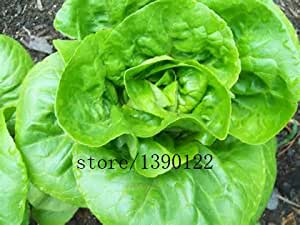 200pcs/bag Buttercrunch Lettuce (aka Butter Head Lettuce) , vegetable seeds,Certified Organic Non-GMO. Sprouting Guaranteed.