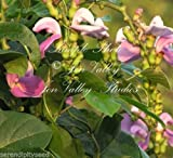 Canavalia gladiata Sword Bean 8 Seeds Ornamental Tropical Vine Lavender Blooms