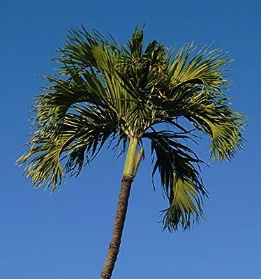 Christmas Palm Manila Palm Adonidia Veitchia merrillii 10 Seeds