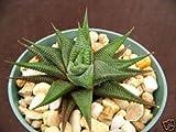 "Haworthia Limifolia, Exotic Rare Succulent Plant Cacti Cactus Bonsai Outdoor Agave 4"""
