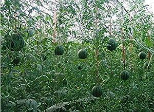 ガーデンPlantasの早期地雷スイカの種のフルーツ種子8本スイカ種子melanciaのfrutas