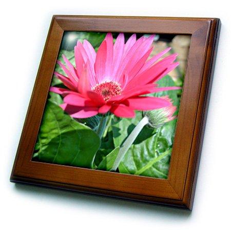3dRose ft_22707_1 Pink Gerbera Daisy Framed Tile, 8 by 8-Inch