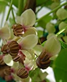 Akebia quinata 'Silver Bells' (Fiveleaf Akebia) Vine, white & purple flowers, #2 - Size Container