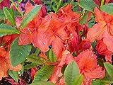 Azalea Japonica Vuyks Orange - 3 Plants in 9cm Pots