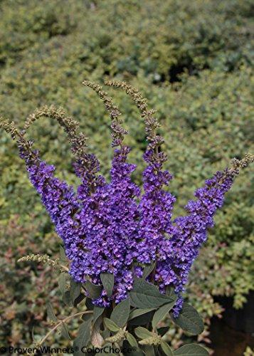 1 Gal. Lo & Behold 'Blue Chip Jr.' Butterfly Bush (Buddleia) Live Shrub, Blue-Purple Flowers by Proven Winners (Image #4)