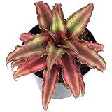 Plants for Pets Live Bromeliad Plant, Cryptanthus Bivittatus Bromeliads, Potted Houseplants with Planter Pot, Perennial Plant