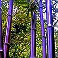 100Pcs Bamboo Seeds Black Purple Green Phyllostachys Pubescens Moso-Garden Plants - 100pcs Purple Bamboo Seeds