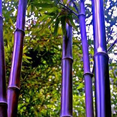 100Pcs Bamboo Seeds Black Purple Green Phyllostachys Pubescens Moso-Garden Plants - 100pcs Purple Bamboo Seeds