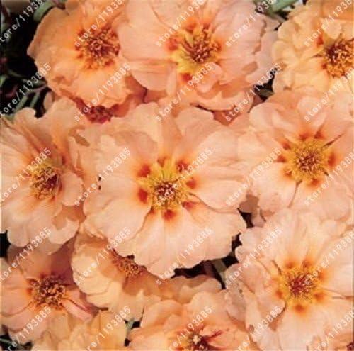 100pcs / bag cubre suelos semillas crisantemo, crisantemo bonsai semillas de flores perenne margarita planta para el jardín de 8 en maceta: Amazon.es: Hogar