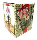 Amaryllis Kit: Apple Blossom + Plastic Pot & Soil - 26/28 cm Bulb - Netherland