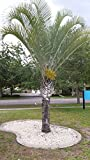 Triangle palm tree Dypsis decaryi live 3 gal 2 foot + young plant