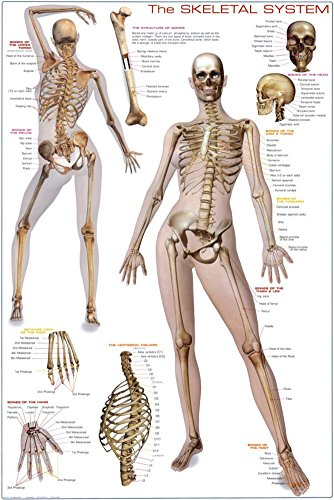 Skeletal System Poster 24 x 36in