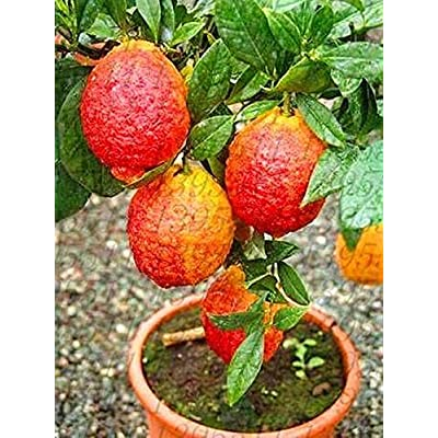 20 pcs/Bag red Lemon Tree Also is Blood Orange Organic Fruit Bonsai trred Lime s: Garden & Outdoor
