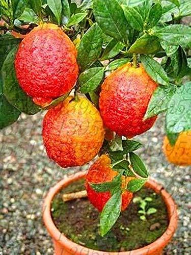 20 pcs/Bag red Lemon Tree Also is Blood Orange Organic Fruit Bonsai trred Lime -