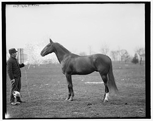 1908 Horse (Vintography 8 x 10 Reprinted Old Photo of Fedora's Athol Age 2 14 1/2 Hands (Horse) 1908 Detriot Publishing co. 41a)
