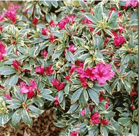 bollywood-azalea-rhododendron-color-year-round-sun-or-part-sun-proven-winners
