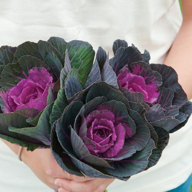 David's Garden Seeds Flower Kale Crane Red T36P47 (Purple) 50 Hybrid Seeds