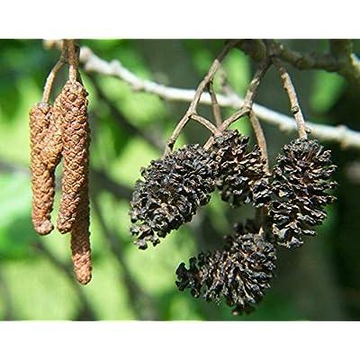 Cheap Fresh Tree Seeds Alnus Glutinosa Common Alder Get 10 Seeds Easy Grow #GRG01YN : Garden & Outdoor