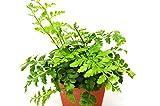 Austral Gem Fern - Live Plant - FREE Care Guide - 4'' Pot - Low Light House Plant