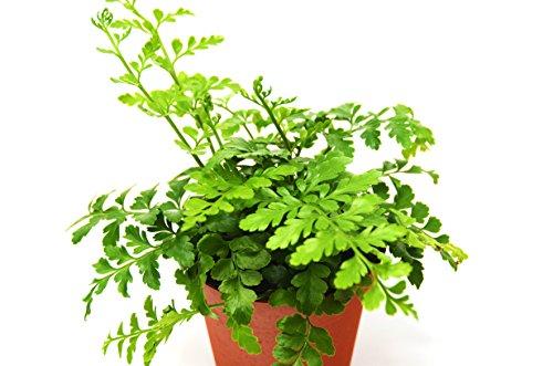 """Austral Gem Fern - Live Plant - FREE Care Guide - 4"""" Pot - Low Light House Plant"""