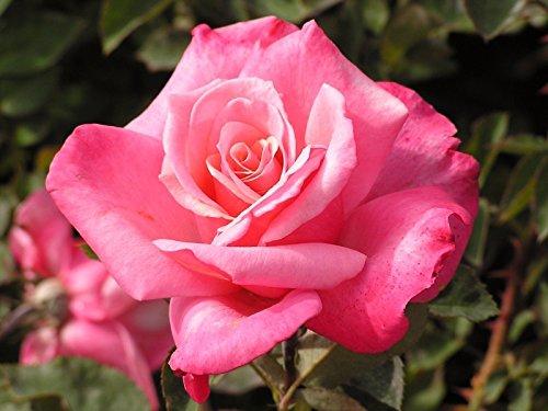 Worldwide Tea Rose - First Prize Hybrid Tea Rose (1 Plant) Border,Cut Flowers,Ornamental, Outdoor