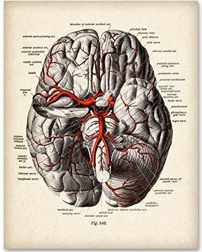 Brain Diagram With Veins - 11x14 Unframed Art Print - Makes a Great Gift Under $15 for Medical and Nursing -