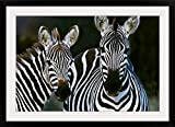 GreatBIGCanvas ''Zebras Africa'' Photographic Print with Black Frame, 36'' x 24''